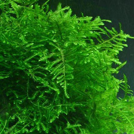 Zestaw roślin i mchów 4 gatunków na korzeń do akwarium krewetkarium