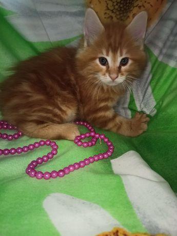 кот в резерве Рыжий  мрамор Мейн кун!