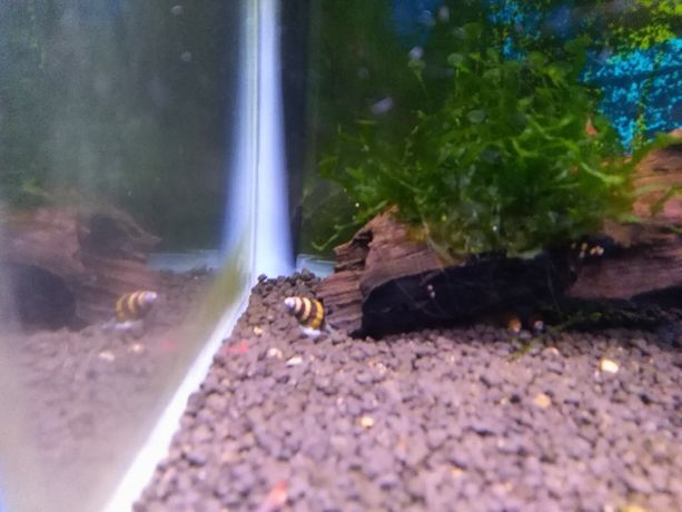 Ślimak Helena-pożeracz ślimaków, sposób na plagę
