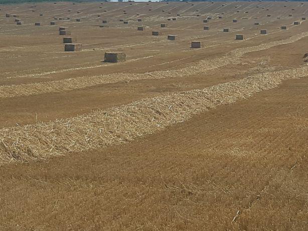 Słoma z wiaty owsiana jęczmienna rzepaczana kostki bele 150