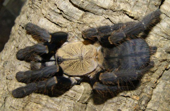Ptasznik Cyriopagopus sp, Hati Hati samica