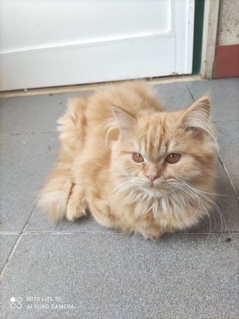 Gato persa macho laranja