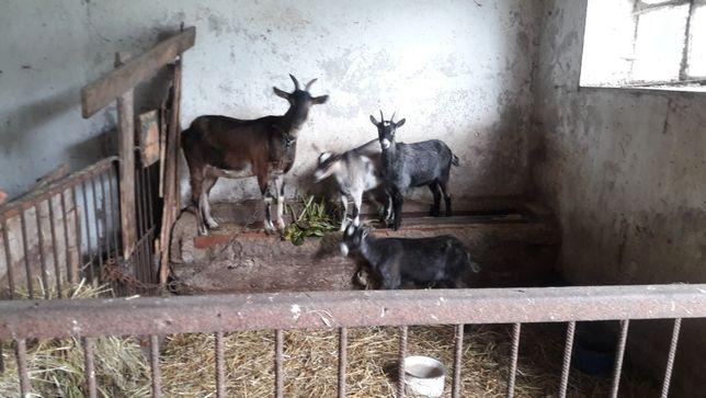 Sprzedam kozy i koziołki