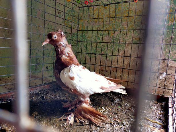 Gołębie Samiczka Białotarczowa Łapciata z koronką Turkoty Wysyłka