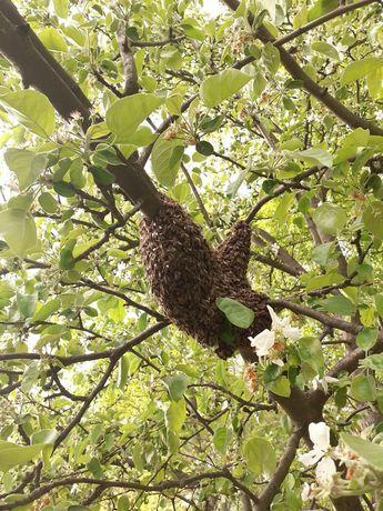 Продам рій бджіл