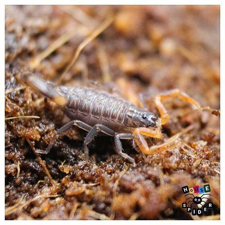 Lychas tricarinatus подростки индийского скорпиона