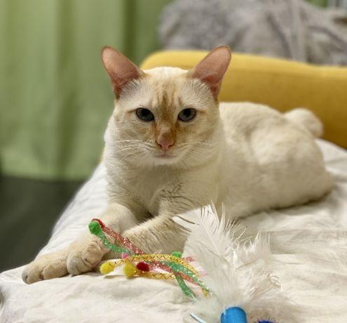 Титулованный кот Меконгский бобтейл ред поинт приглашает на вязку