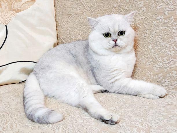 Вязка,  кот британский в Киеве