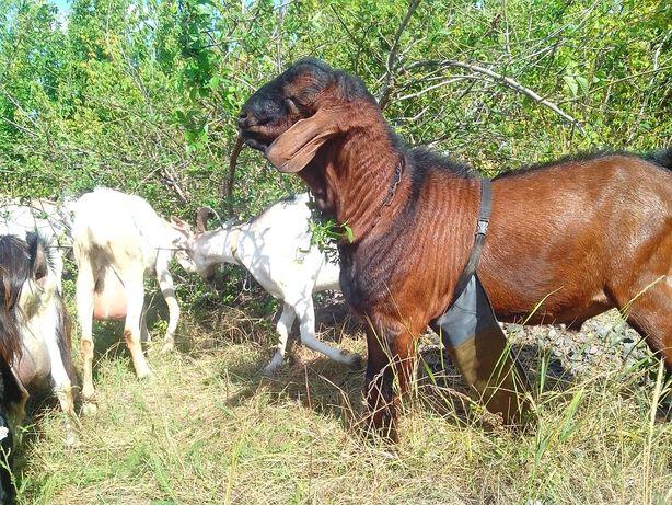 Продам козликов от высокоудойных коз.