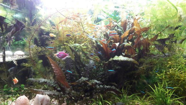 Роголистник, криптокорина, валиснерия, анубиас и другие аквар растения