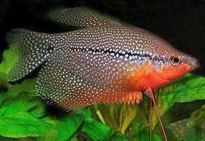 Ryby do akwarium - gurami mozaikowy - hodowla