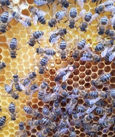 Rodziny pszczele przezimowane- 4-ramki Dadant Sklenar G10