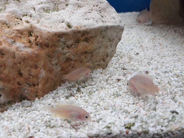 Ryby pyszczaki - młode