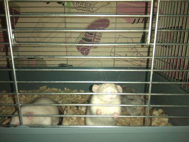 Szczurki dumbo.samce