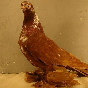 Gołębie ozdobne Adeno chudnięcie kręciek pomogę