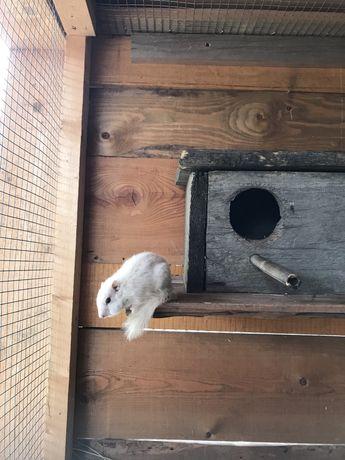 Wiewiórka biała