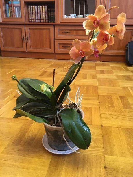 орхідея, орхидея