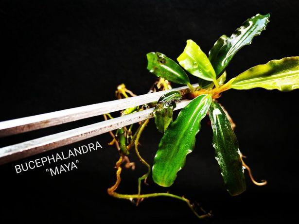 Bucephalandra Maya Hodowlane Centrum Skorupiaków Ciołka 35 W-wa