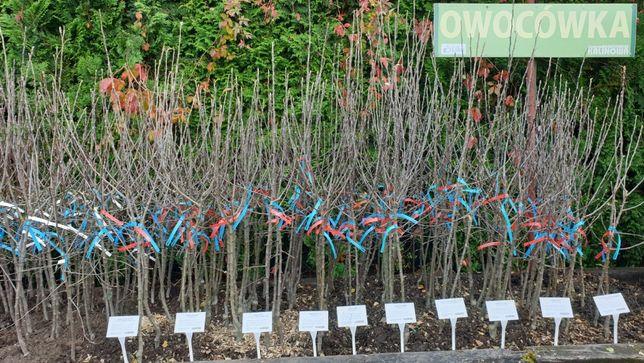 Drzewka owocowe jabłoń, grusze, śliwy i inne OWOCÓWKA - sklep KALINOWA