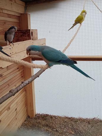 Sprzedam papugi nimfy,faliste