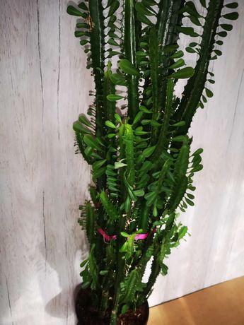 EUPHORBIA TRIGONA Wilczomlecz Trójżebrowy, kaktus