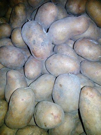 """Картопля для харчування  - сорт """"Слов'янка""""."""