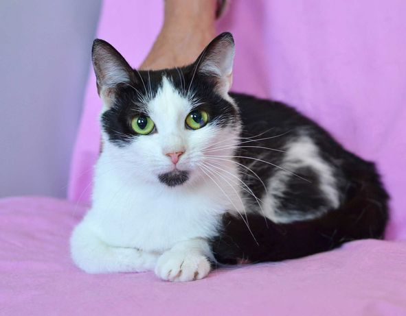 Айси, черно-белая кошка, 1 годик кошечке
