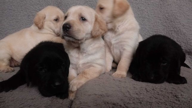 Labrador szczeniak szczeniaki piesek suczka czarny biszkoptowy pieski