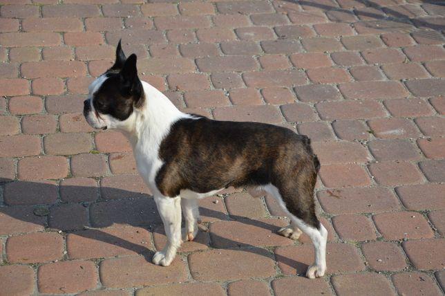 Boston Terrier Reproduktor