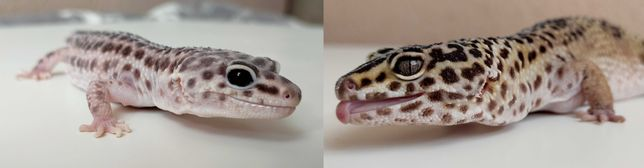 Dwa dorosłe gekony lamparcie. Samiczki - Super mack snow/mack snow
