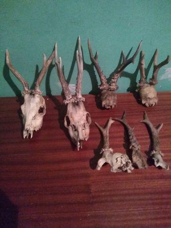 Poroże parostki kozioł jeleń