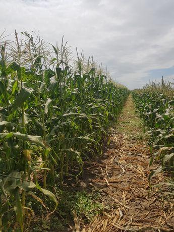 продам сахарную кукурузу с поля оптом!