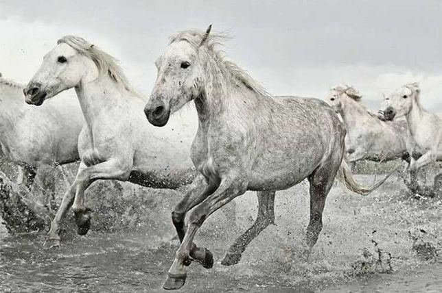 Plakat White Horses 61x91,5