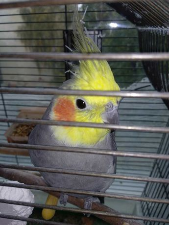 Попугай.     Корелла