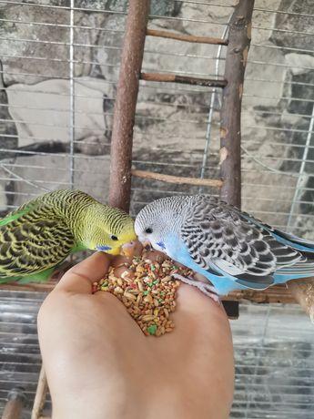 Papuga falista / papugi faliste / oswojone /ręcznie karmiona ptaszek