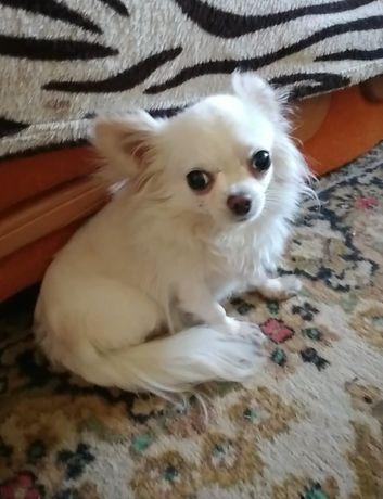 Безплатно Чихуахуа собака девочка