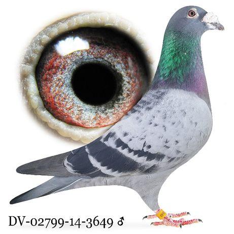 Młode 2021 Para nr 12 Fineke 5000 x R. Diels Gołąb gołębie pocztowe