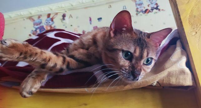 Взрослая Бенгальская кошка.