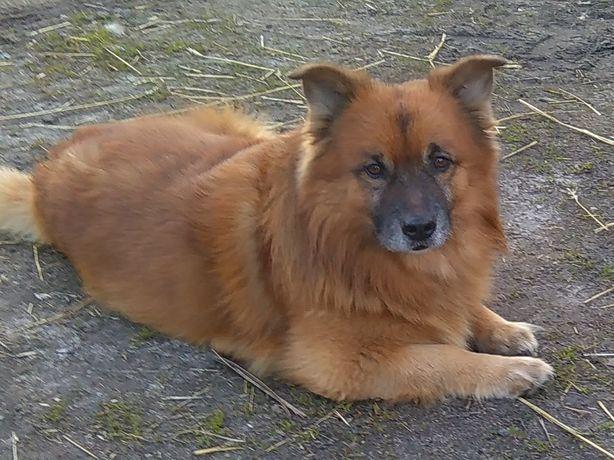 Zaginął pies BORYS.  NAGRODA