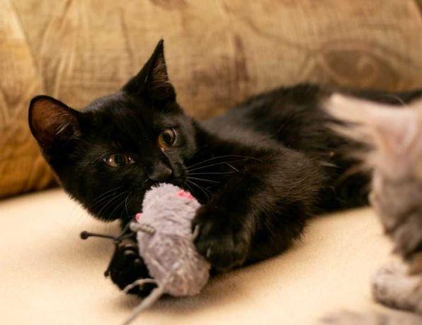 Хорошенький черный с белый котенок ищет семью, 3,5-4 мес