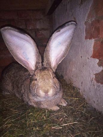 Кролі молодняк бельгійський велетень