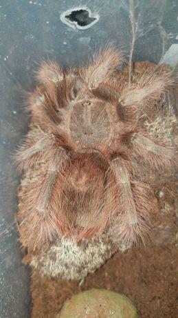 Nhandu tripepii - samiczka