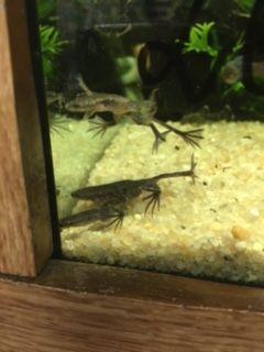 żaba akwariowa czarna