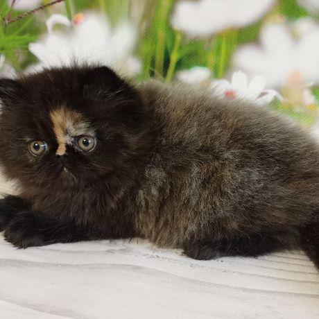 Персидский котенок девочка из питомника