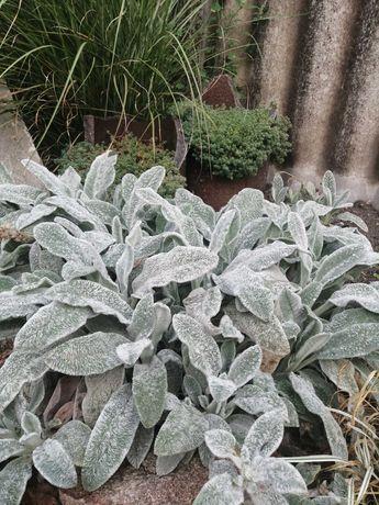 """Растение для вашей клумбы чистец """" заячьи ушки' почвокровный"""