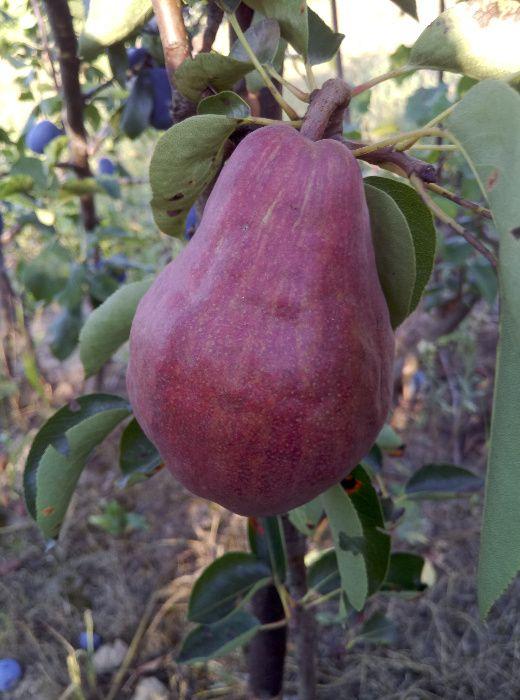 drzewka owocowe Jakubowice Konińskie - image 1