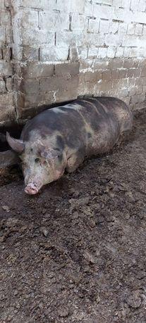 Свиньи мясных пород свинья мясной породы продам живым весом свинью