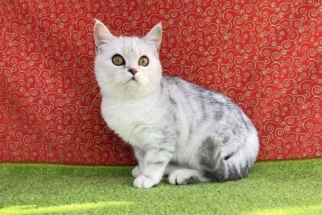 Шотландская кошечкa в cеpебристом мрaмоpном окpaсе