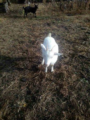 Коза молодая игривая