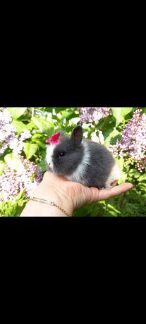A1 króliczek TEDDY KARZEŁEK miniaturka mini lop NIEBIESKI wyprawka
